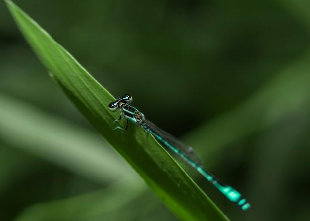 Um damselfly azul comum enallagma cyathigerum close-up