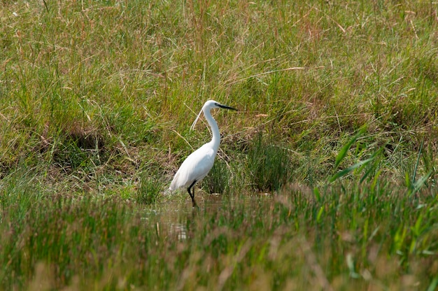 Um, egret, em, um, campo