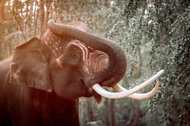 Um elefante tailandês com belas presas chamado plai arm, um elefante de 20 anos que é considerado um elefante famoso. de surin e tailândia