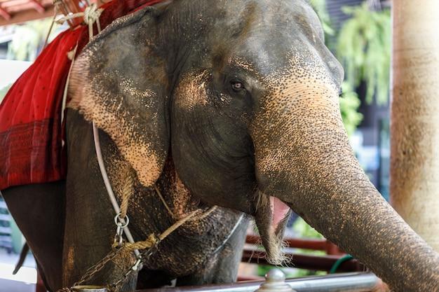 Um elefante tailandês no zoológico, tailândia.