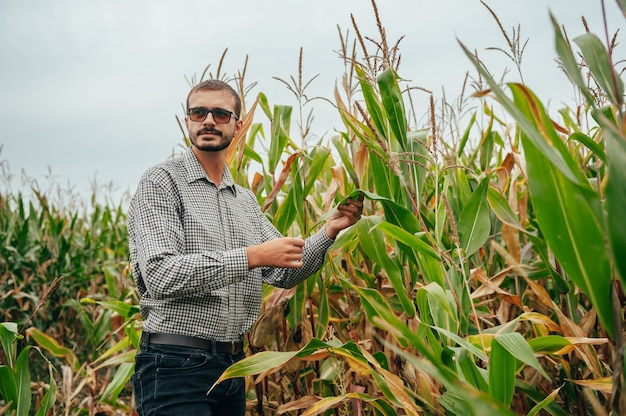 Um engenheiro agrônomo segura o computador tablet touch pad na plantação de milho e examina as colheitas antes da colheita
