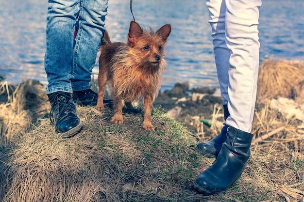Um engraçado yorkshire terrier fica na grama entre dois pares de pernas em um fundo de água. pêlo castanho comprido de cão e orelhas grandes. jeans e botas nos pés das pessoas. horizontal.