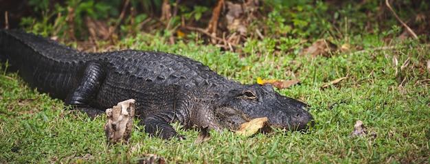 Um enorme jacaré no gramado em um dia ensolarado e quente no parque natural everglades da flórida