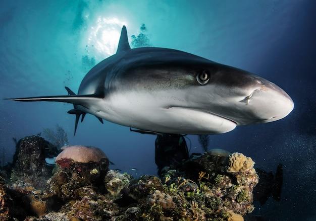 Um enorme tubarão branco no oceano azul nada debaixo de água. tubarões na selva. vida marinha subaquática no oceano azul. observação do mundo animal. aventura de mergulho no caribe, costa de cuba
