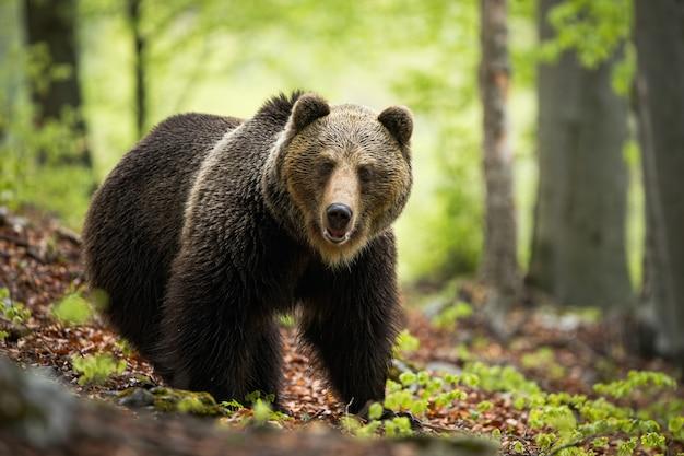 Um enorme urso pardo posando no encantador ambiente da floresta