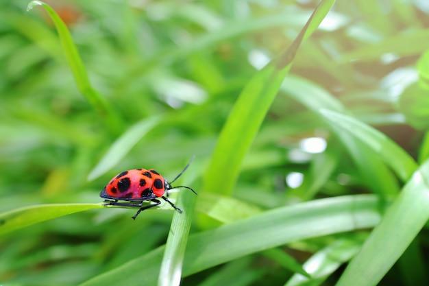 Um erro vermelho e preto bonito na grama verde na manhã do verão.