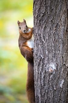 Um esquilo em uma árvore com pelo laranja