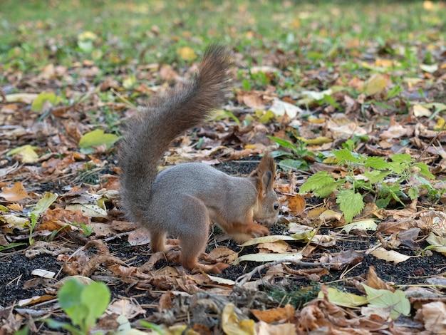 Um esquilo escava na folhagem de outono no parque no outono.