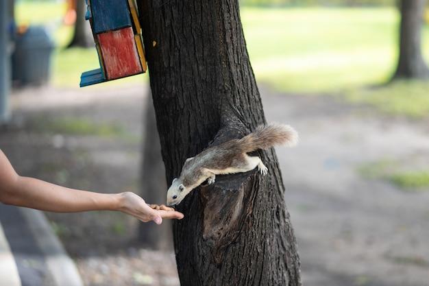 Um esquilo está comendo nozes e feijão de uma mão humana no jardim