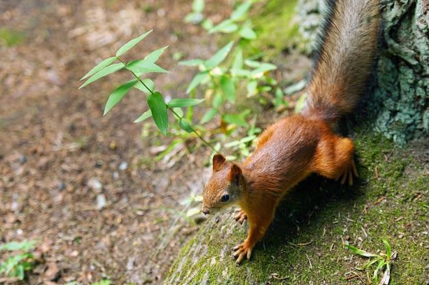 Um esquilo senta-se no chão e na floresta em um parque natural.