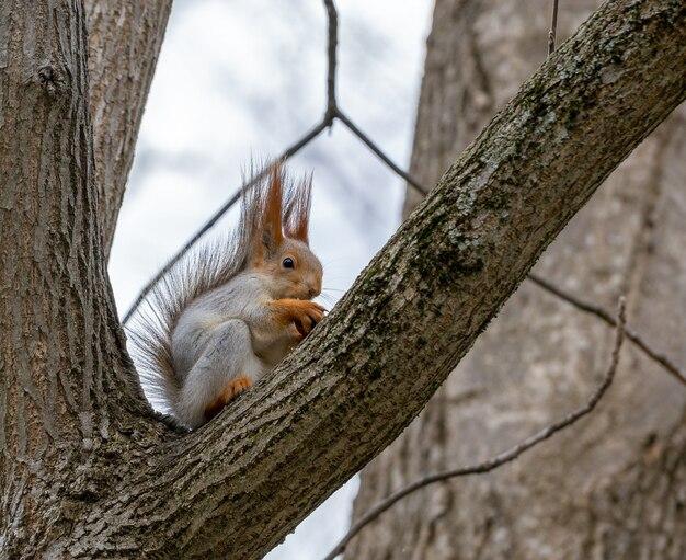 Um esquilo vermelho selvagem senta-se em um galho de árvore em um parque da cidade e rói uma noz.