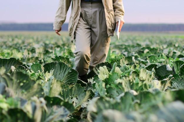 Um fazendeiro caminha por um campo de repolho. jardinagem em uma fazenda de vegetais orgânicos.