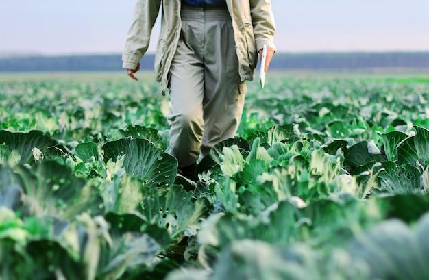 Um fazendeiro caminha por um campo de repolho. jardinagem em uma fazenda de vegetais orgânicos