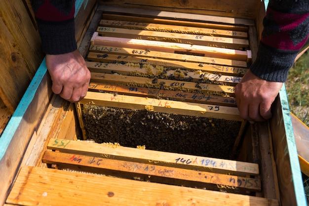 Um fazendeiro em um apiário de abelha segura quadros com favos de mel de cera.