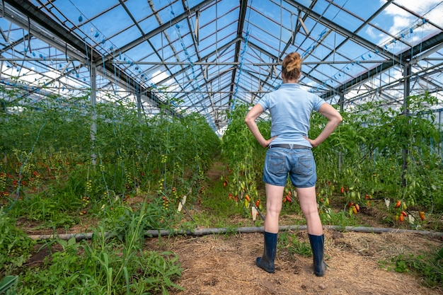 Um fazendeiro inspeciona uma safra de tomates em uma estufa em uma fazenda orgânica