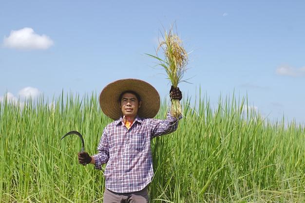 Um fazendeiro mantém uma foice colhendo campos de arroz em um dia ensolarado.