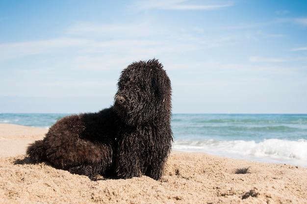 Um filhote de bouvier des flandres covred na areia depois de cavar na praia