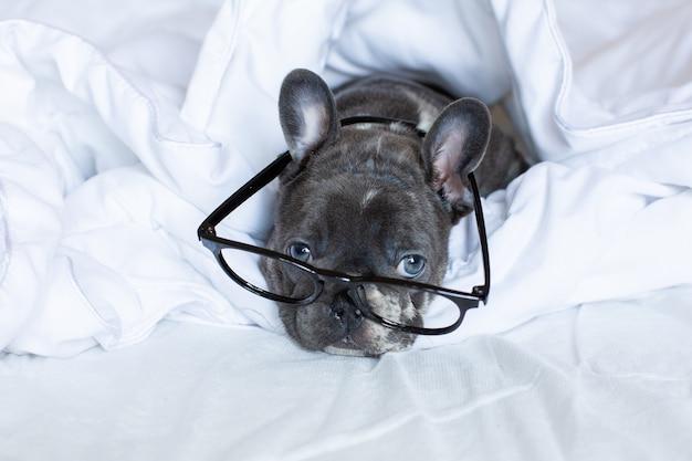 Um filhote de buldogue francês com óculos está em casa em uma cama debaixo de um cobertor