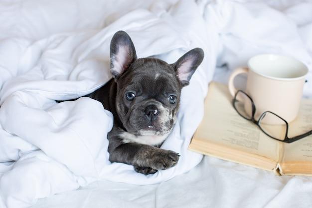 Um filhote de buldogue francês de óculos está deitado em casa na cama sob o cobertor com um livro