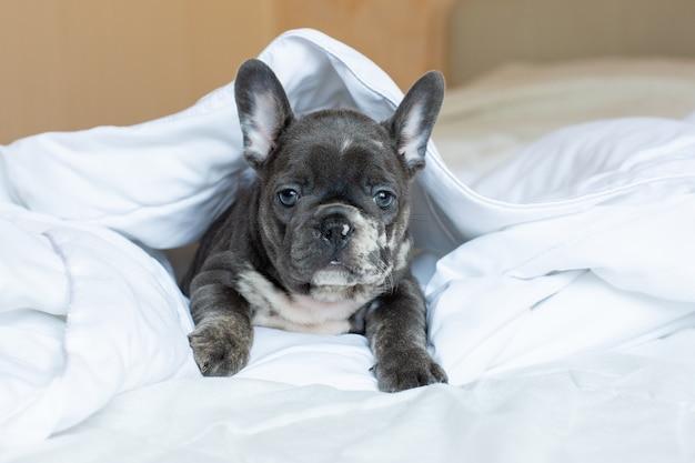 Um filhote de buldogue francês deitado em uma cama sob um cobertor em casa