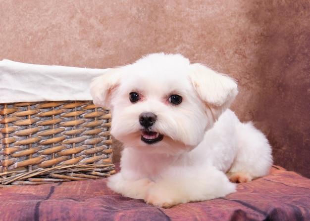 Um filhote de cachorro maltês encontra-se em um vintage ao lado de uma cesta de rattan.