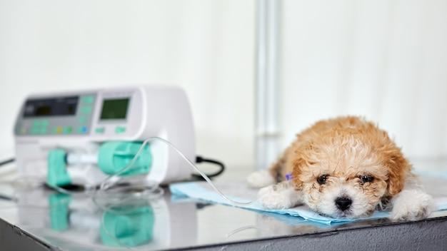 Um filhote de cachorro maltipoo doente deitado em uma mesa em uma clínica veterinária com um cateter na pata