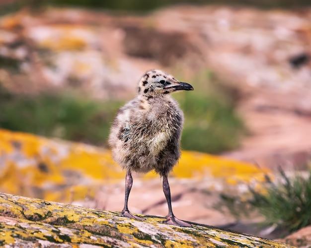 Um filhote de gaivota jovem explorando além do ninho.