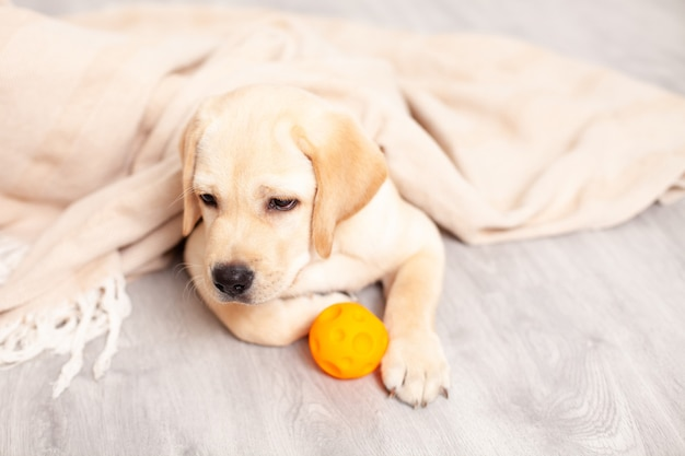 Um filhote de labrador triste está deitado no chão sob o cobertor da casa. doença. veterinário. cão. clínica de cuidado de animais domésticos. foto de alta qualidade