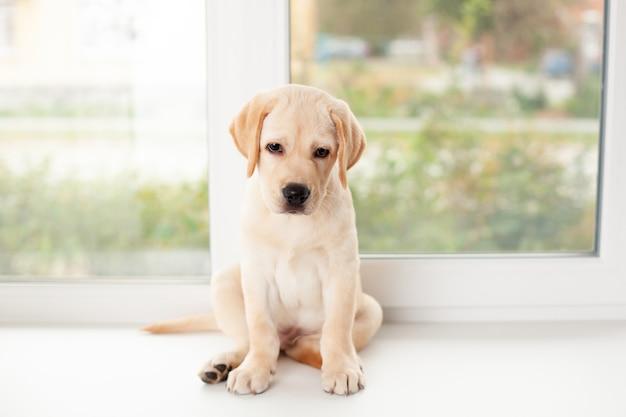 Um filhote de labrador triste está sentado no parapeito da janela. ande com seu animal de estimação. cão. quarentena. foto de alta qualidade