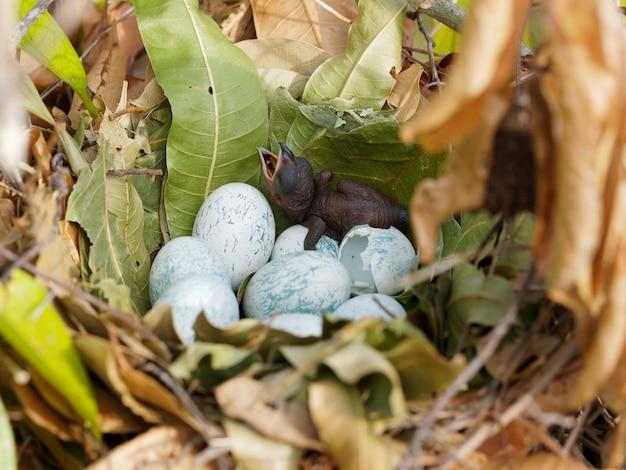Um filhote de papagaio preto acaba de nascer de um ovo no ninho