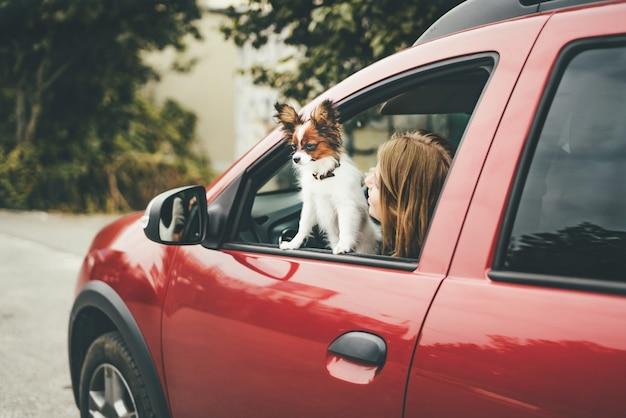 Um filhote de papillon branco e vermelho fofo parado no carro olhando pela janela
