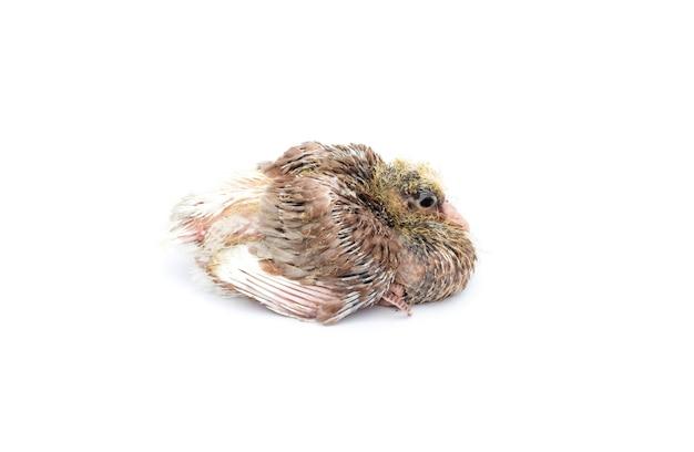 Um filhote de pombo bonito e brilhante sentado em um fundo branco isolado