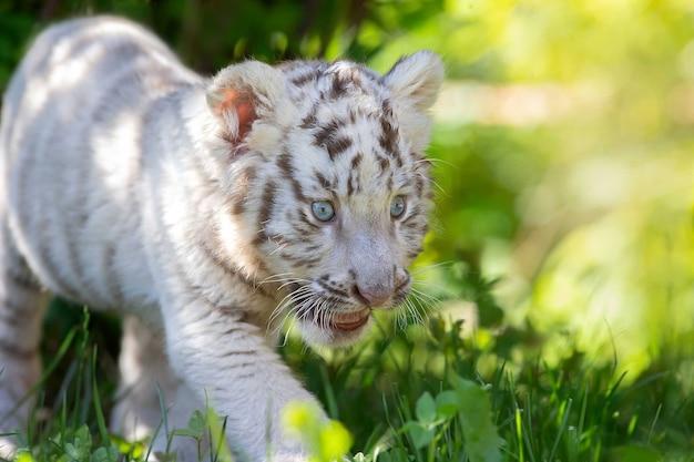 Um filhote de tigre branco caminhando na grama