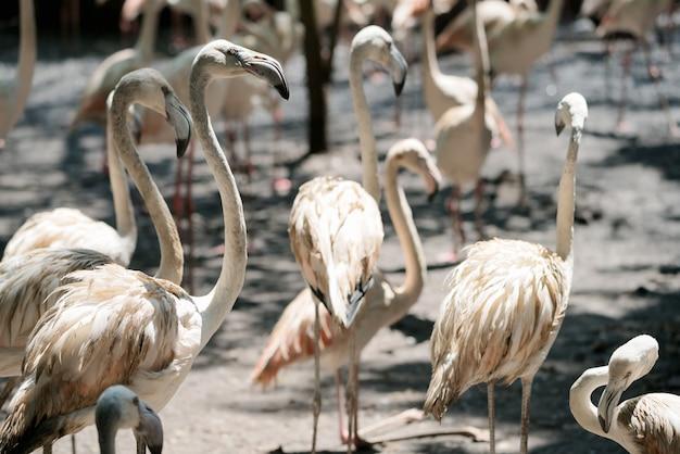 Um flamboyance de flamingos maiores vadear na água em luz dourada ao pôr do sol.