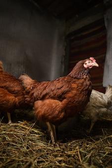 Um frango marrom ao vivo com um olhar orgulhoso