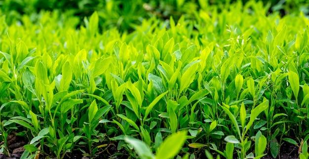 Um fundo de grama verde brilhante em um bom dia_