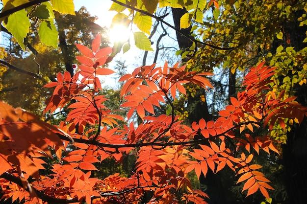 Um galho de sorveira com folhas vermelhas na luz do balcão
