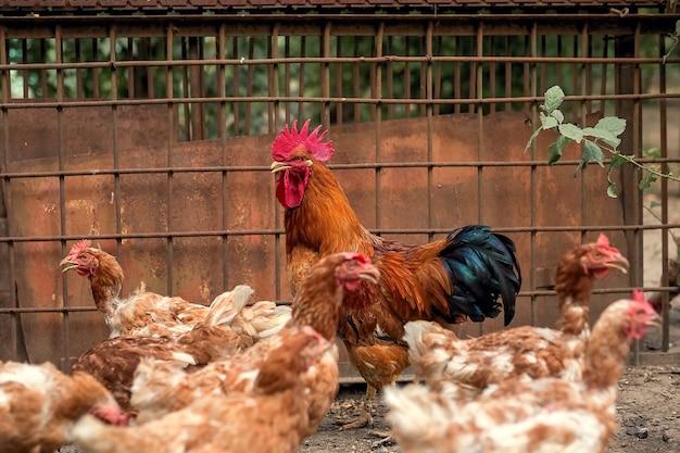 Um galo de uma bela cor brilhante e galinhas marrons caminham no galinheiro.