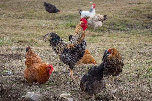 Um galo e galinhas estão caminhando no quintal. paisagem rural.
