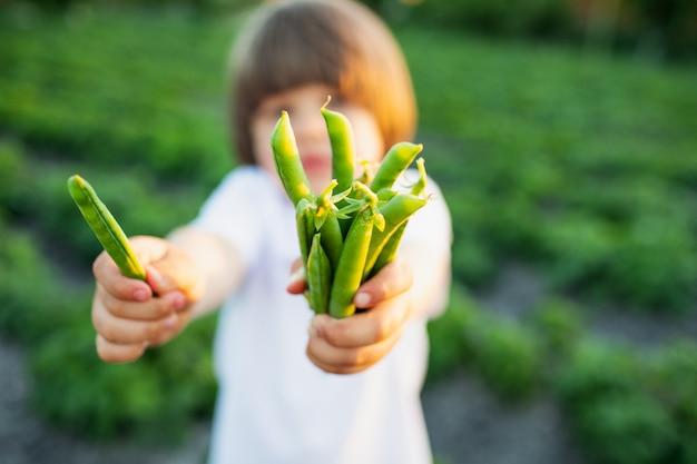 Um garotinho tem nas mãos as vagens de ervilhas verdes no jardim