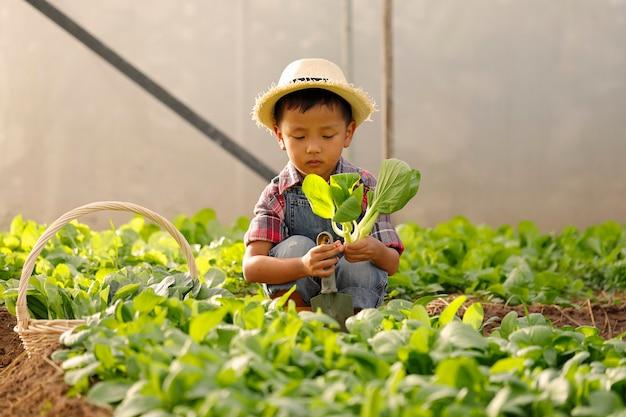 Um garoto asiático está colhendo legumes de uma parcela em uma casa orgânica.