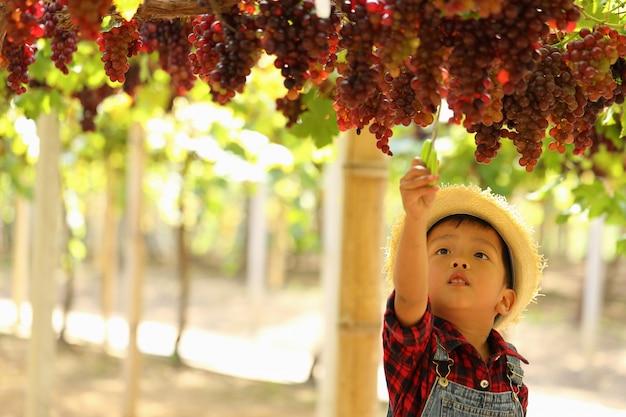 Um garoto asiático está colhendo um cacho de uvas pela manhã.