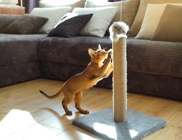 Um gatinho abissínio engraçado brincando com um rato em uma sala de estar