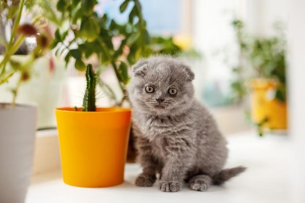 Um gatinho britânico cinza está sentado no parapeito da janela e olha para a câmera, há vasos de flores ao lado dele.
