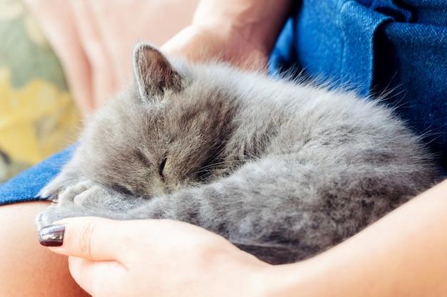 Um gatinho britânico de pêlo curto