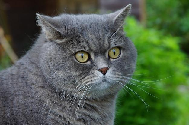 Um gatinho cinza de aparência britânica, olhos amarelos esbugalhados.