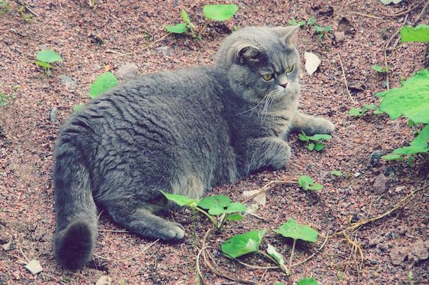 Um gatinho cinza de raça britânica encontra-se no chão.