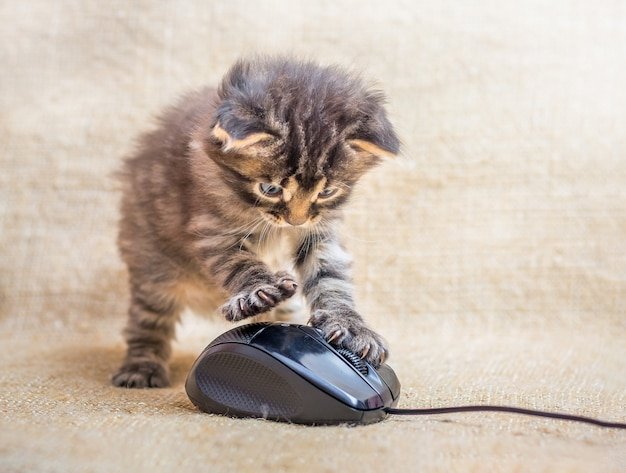 Um gatinho é jogado com um mouse de computador. gato pegou um rato. diversão para crianças