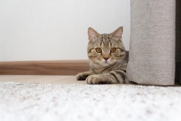 Um gatinho está deitado no chão, um gato fofo está escondido atrás de uma cortina
