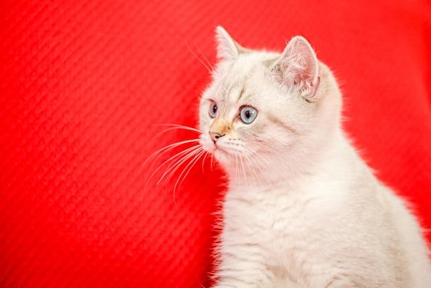 Um gatinho fofo da raça britânica deitado em um cobertor vermelho lugar para o texto gato de ano novo
